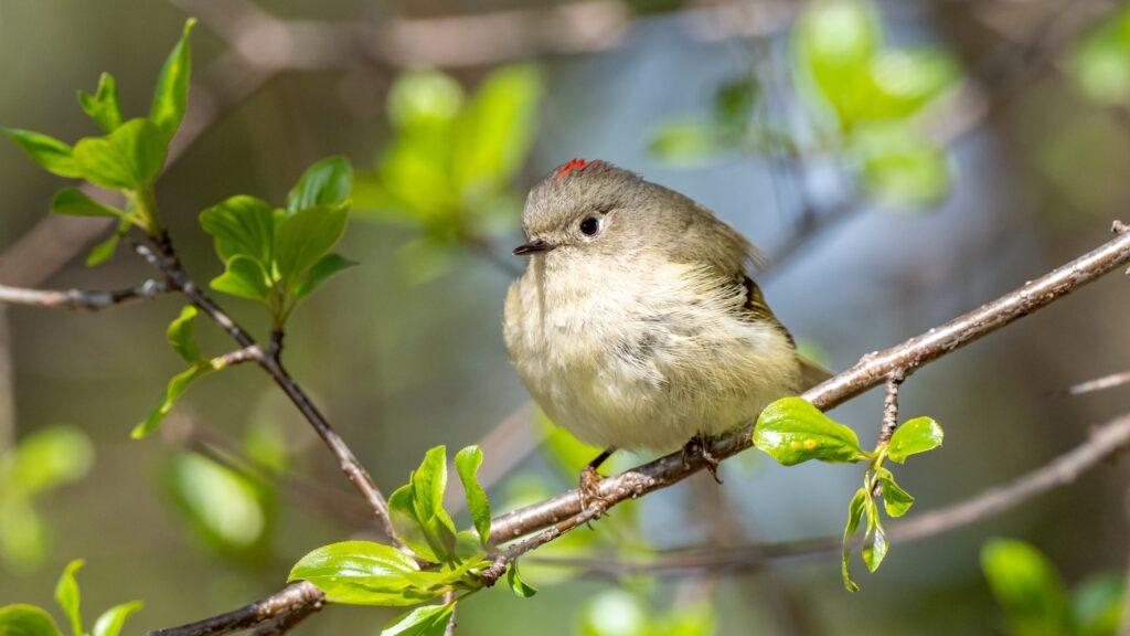 small canadian bird on tree branch